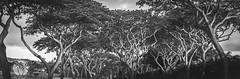 Trees at Sunset (brandon.vincent) Tags: trees light sunset white black tree dark hawaii maui wailea
