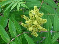 Sumac Smooth DSC03598 (BayonneBirder) Tags: flower sumac smooth
