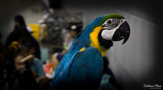 Blue parrot (gunman47) Tags: show blue pet colour bird animal hall kitten singapore expo bokeh parrot hobby stare colourful sg 2016