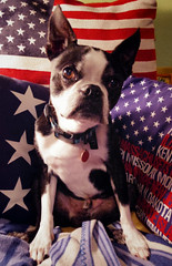Ivan, age 12 (EllenJo) Tags: bostonterrier ivan handsome happybirthday olddog july2 age12 bornin2004