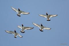 Synchronized fliers (Tuomo Nyknen) Tags: oystercatcher birdsinflight bif eurasianoystercatcher ostralegus meriharakka finnishbirds suomenlinnut haemapotus haemapotusostralegus