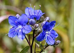 Skyflower (Hydrolea corymbosa) (Mary Keim) Tags: taxonomy:binomial=hydroleacorymbosa centralflorida marykeim orlandowetlandspark floridanativewildflowers