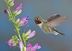 Broad-tailed Hummingbird (JohnGerlach Photography) Tags: winner