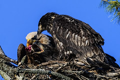 Feeding Time (20160618-200912-PJG) (DrgnMastr) Tags: bravo feeding fb cropped eagles baldeagles eaglets avianexcellence diamondclassphotographer flickrdiamond overtheexcellence naturesspirit ia14 dmslair sunshinegroup grouptags allrightsreserveddrgnmastrpjg pjgergelyallrightsreserved