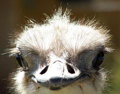 Avestruz (Hugo Prez Marsol) Tags: animales avestruz madagascar ostrich animals