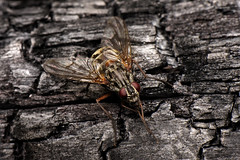 07-02-2016_DMH_0452 (davesnothere11) Tags: wood closeup alaska fly willow burnt cloe charred mcaro
