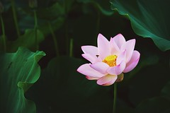Lotus (Diego Chiu) Tags: pink flowers red white flower color macro nature fleur back gm lotus background sony taiwan peaceful ground bee therapy 蜜蜂 荷花 蓮花 زهرة گل اللوتس 觀音鄉 桃園縣 晨光 연꽃 कुंद 人像鏡 ハスの花 لوتوس 2016桃園蓮花季 仲夏‧荷樂 尼伯特颱風