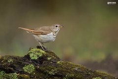 Hermit thrush (Corey Hayes) Tags: songbird log forest spring wood moss song singing overcast woodland damp