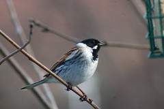 Reed Bunting6 (catman1515) Tags: scottishwildlife reedbuntig