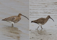 Curlew and Whimbrel Comparison (markwright12002) Tags: dorset arne wareham whimbrel curlew
