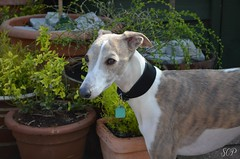 (Start Cox) Tags: flowers plants greyhound sun white cute male dogs nature beautiful beauty animal female garden rocks bright posing sunny whippet spot terrier breeding poodle bitch breed patchy playingdogs westfieldterrior