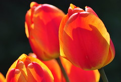 Flammable tulips (powerfocusfotografie) Tags: flowers colors tulips henk nikond90 powerfocusfotografie mygearandme