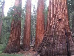 monte de Sequoias en el Yosemite. Enooormes!! Lástima que hubo un incendio hace un tiempo y hay muchos quemados. Una de las fotos es el mas viejo con mas de 1000 años.