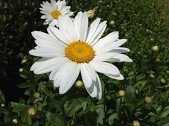 He loves me, he loves me not`Daisy (beachkat1) Tags: flowers flower daisies daisy uploaded:by=flickrmobile flickriosapp:filter=nofilter