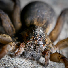 Wolf spider (family Lycosidae), unknown species - missing a leg (DaveHuth) Tags: ny spider arachnid houghton animalia arthropoda arachnida wolfspider arthropod araneae lycosidae lycosa taxonomy:kingdom=animalia taxonomy:class=arachnida taxonomy:order=araneae taxonomy:family=lycosidae taxonomy:phylum=arthropoda taxonomy:common=wolfspider taxonomy:genus=lycosa taxonomy:binomial=lycosapseudoannulata