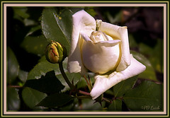 Vanilla Princess (MissyPenny) Tags: usa white rose garden spring may cream vanilla bud southeasternpa bristolpennsylvania pdlaich missypenny