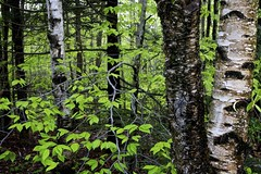 May, Maine woods (Don Seymour) Tags: leaves spring woods maine may newengland bark birch