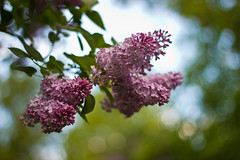 Pink Lilacs (Marshall Jon Steeves) Tags: pink flowers canon 50mm bokeh f18 t2i
