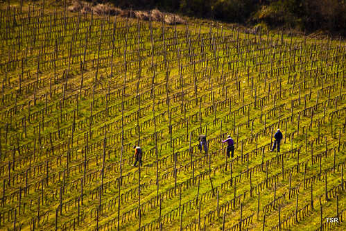Tuscany-workers in the vineyard