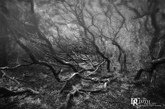 Live oaks in fog (Dennis Cluth) Tags: art monochrome nikon live south carolina tres oaks d90