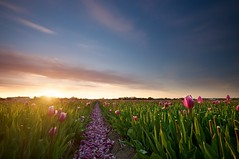 Dj Vu (martijnvdnat) Tags: lighting sunset flower green netherlands field landscape evening vanishingpoint nikon horizon grow minimal tulip bulbs growing agriculture tulipfield tulipa bulbfields leadinglines landscapephotography d90 sigma1020 sassenheim cmartijnvdnat