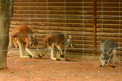 Captured Kangaroos (mamue81) Tags: dresden flamingo lion sachsen zebra giraffe hungry zoologischergarten maus lwe pavian knochen faultier zoodresden dresdnerzoo kngaruh hungrg