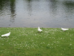 Doves at Claremont Landscape Garden (KarenB Photos) Tags: garden landscape surrey national trust claremont esher