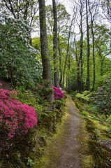 Azalea Path (There and back again) Tags: trees somerset azalea greencombegardens