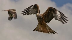 Red Kites aloft. (foto.pro) Tags: bird wings raptor species rare flyingwales