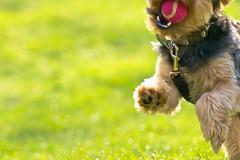 Playtime With Scruffy (tciriello) Tags: dog grass ball jumping paw play teeth running tennisball fetch