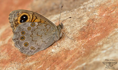 The Large Wall Brown (Lasiommata maera) (Pete Withers) Tags: