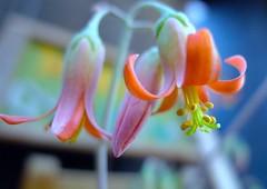 Papillaris (love_child_kyoto) Tags: flower macro june kyoto professional   gion    variosummicron  masterphotos artisticflowers takenwithlove mindigtopponalwaysontop   papillaris leicadlux5 cotyledonpapillaris dlux5 dreamlikephotos lovelynewflickr