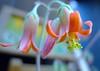 Papillaris:弁慶草 (love_child_kyoto) Tags: flower macro june kyoto professional 京都 祇園 gion 花 自然 マクロ variosummicron ネイチャー masterphotos artisticflowers takenwithlove mindigtopponalwaysontop ベンケイソウ マスター写真 papillaris leicadlux5 cotyledonpapillaris ライカdlux5 dreamlikephotos lovelynewflickr パピラリス