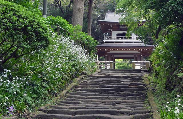 浄智寺 石段と鐘楼門に著莪の花