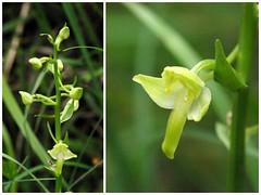 Route de Paloubard (Oust/Arige/Pyrnes) (PierreG_09) Tags: orchid fleur plante flor oust flore pyrnes orchide pirineos arige couserans orchidace paloubard