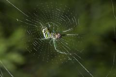 Spider eating series 31 (Richard Ricciardi) Tags: spider eating web spinne araa  araigne ragno timeseries     gagamba    nhn  spidertimeseries