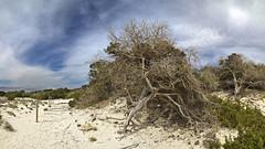 rbol ses salines. Mallorca (xisco serra) Tags: tree beach arbol playa mallorca cala sessalines ratjada