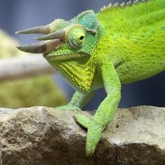 chameleon (Leo Reynolds) Tags: animal fauna canon eos iso3200 zoo reptile f45 7d chameleon 190mm hpexif 0011sec leol30random xleol30x xxvisiblexx