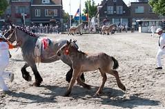 DSC_2291 (Ton van der Weerden) Tags: horses horse dutch de cheval belgian nederlands belges draft chevaux belgisch trait ijzendijke trekpaard trekpaarden