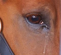 Desire to please (MissyPenny) Tags: eye horse belgiandrafthorse brown equine wrightstownpennsylvania eyecatcher smileonsaturday