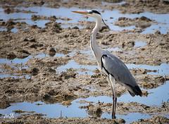 Tancat de la Pipa_2013 (MSB.Photography) Tags: naturaleza nature birds animals real spain wildlife sony pajaros animales garza nex7