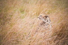 Masai Mara National Park (ChristyB30) Tags: africa kenya lion safari giraffes lions giraffe hippo wildebeest masaimara flickrbigcats