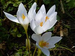 White Autumn Crocus (arrowlakelass) Tags: autumn white fall album crocus bulbs colchicum autumncrocus autumnale p1110102