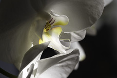 orchids (lesbru) Tags: interior naturallight exotic sultry d600 dsorchidsfromr