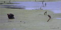 Earl shooting Heron (Earl Reinink) Tags: ontario canada bird heron nature nikon flickr earl naturephotography blackcrownednightheron dunnville nikond4 earlreinink reinink