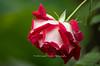 ODC Drop 20131028-BkYrd0071-42-Edit (Laurie2123) Tags: love rain rose backyard bokeh odc nikkor105mm loverose nikond800 odc2 odcourdailychallenge laurie2123 laurieturnerphotography