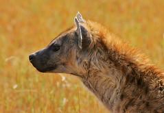 Alert hyena (Rainbirder) Tags: kenya maasaimara crocutacrocuta spottedhyena rainbirder