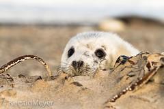 hiding (II) (kerstin_meyer) Tags: baby beach canon germany puppy mammal eos grey marine seal 7d dne greyseal helgoland kegelrobbe