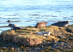Common Seals Sunbathing In Winter! (orquil) Tags: uk winter mammal islands scotland orkney december wildlife group fave seal inlet beached common sunbathing harbourseal basking onshore skerry winterdecember brigowaithe