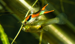 Fish-7162 (Line123a) Tags: male display guppy courting livebearer endlers displayforfemale poeciliaendlers